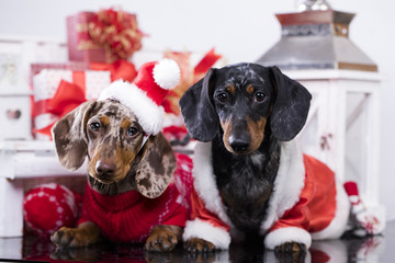Christmas  dachshund puppy with Santa hat