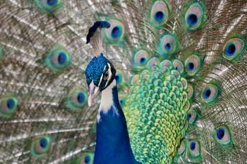 Peacock Side Eye