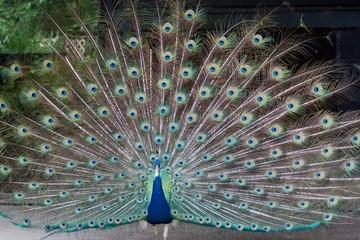 Peacock Full Display