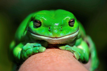 """An Australian Green Tree frog sits on the hand of Potter during the launch of the Australian Museum's """"FrogID"""" app in Sydney"""