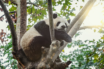 Giant Panda sleeps on the tree.