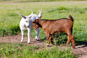 Two young, part pygmy, goat kids