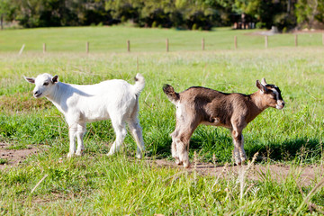 Two young, part pygmy, goat kids - beige and white