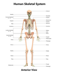 Human Skeletal System Anatomy with Detailed Labels Anterior View