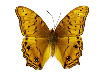 Image of Cruiser Butterfly (Vagrans erota) on white background. Insect. Animal