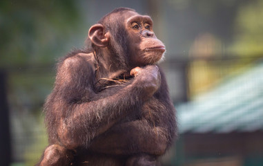 Chimpanzee with a lovely thoughtful expression
