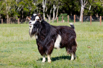 Black and White Male stud buck Goat in paddock