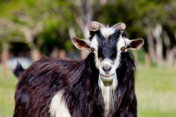 Close-up of Black and White Male stud buck Goat