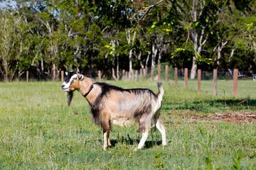 Beige Brown Male stud buck Goat