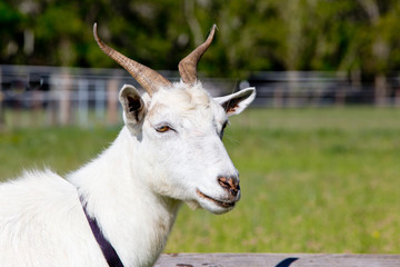 Head shot of white female goat with horns