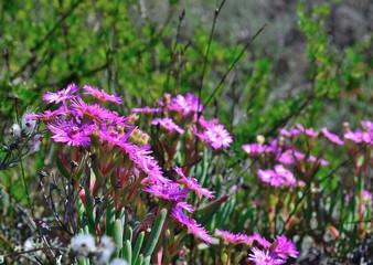 Purple vygie flowers in bloom