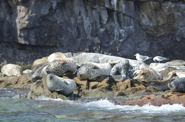 Тюлени ларга на камнях в Японском море в пасмурную погоду