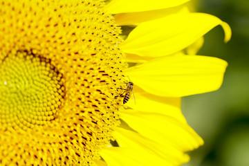 Sunflower field landscape. Sunflowers close up