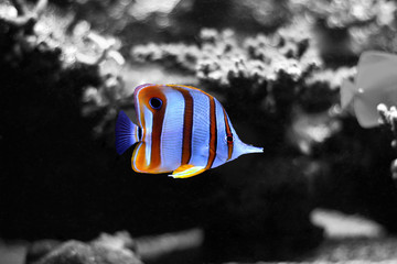 Reef fish splash colors (copperband butterfly fish)