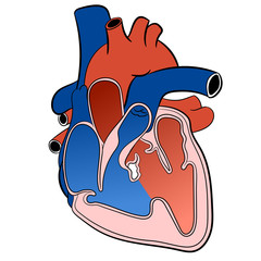 Heart Circulatory System-Vector Illustration