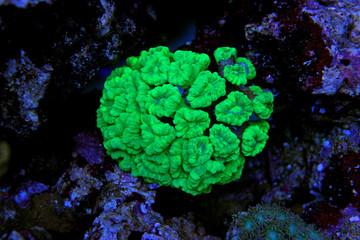 Trumpet Coral (Caulastrea curvata)