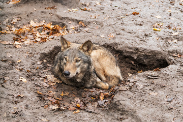 Wolf lying in a hole in the mud, who raised his head cautiously