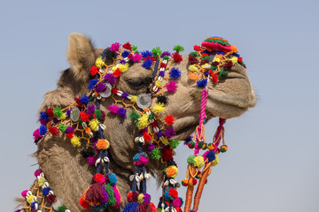 Decorated camel at Desert Festival in Jaisalmer, Rajasthan, India. Head camel
