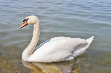 Swans on the river Vltava