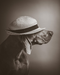 Weimaraner dog with a straw Hat