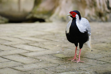 Image of Silver Pheasant(Lophura nycthemere) on nature background. Poultry, Animals.