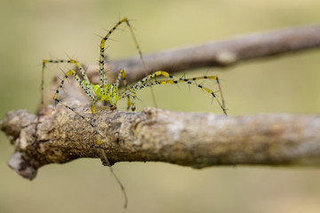 Image of Malagasy green lynx spider (Peucetia madagascariensis) on dry branches. Insect, Animal.