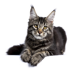 BBlack tabby maine coon cat kitten laying facing front isolated on white background