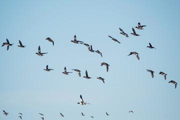 Eurasian Wigeon, Wigeon, Duck, Anas Penelope