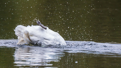 Swan dipping under water