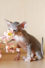 Bald cat, portrait sphinx cats, naked cat, kitten without wool