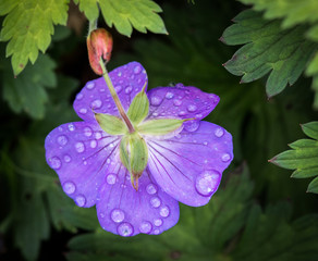 A blue geranium with water droples ot fdew on a single flower