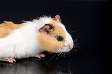 Cute little baby pet white brown guinea pig isolated on the black background with reflections