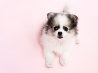 Cute baby pomeranian dog on pink background for pet health care concept, selective focus