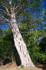 Strangler Fig tree parasite