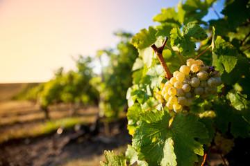 Lumière sur la vigne et le raisin Fototapete