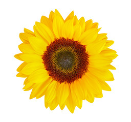 sunflower (Helianthus annuus) isolated on white background, clipping path included