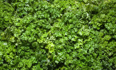 Parsley texture, greens, healthy eating