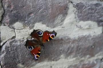 Papillon sur le mur