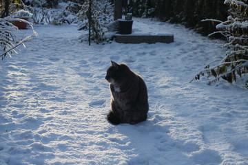 Chat gris dans la neige