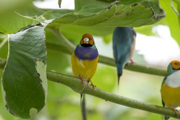 Gouldamadine - Gouldian finch