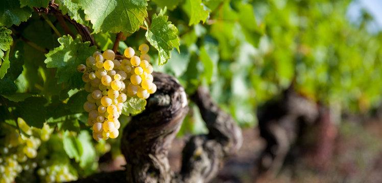 Panorama dans les vigne en Anjou