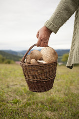 Older woman holding a basket full of parasol mushrooms outside. Detail on hand and basket.