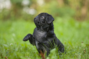 cute little happy black puppy pug in park on grass training