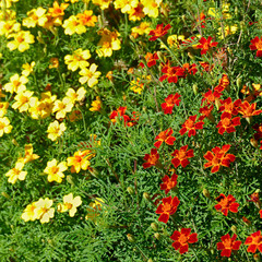 Fototapete - Bright colorful flowers marigolds. Floral background.