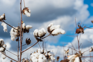 Cotton field close up of lint on open bolls at harvest time