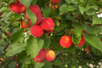 Red apples on a branch in August