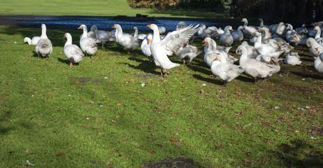 Glückliche Gänse in idyllischer Natur und artgerechter Tierhaltung im Herbst in Deutschland