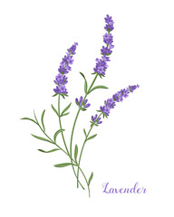 Vector lavender illustration. Beautiful boquet of violet lavender flowers.