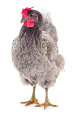 Grey hen isolated.