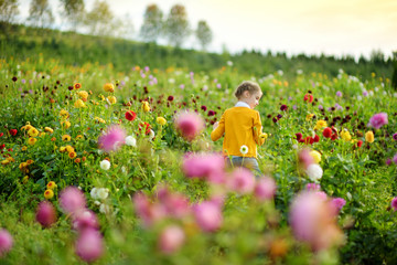Foto auf Acrylglas Dahlie Cute little girl playing in blossoming dahlia field. Child picking fresh flowers in dahlia meadow on sunny summer day.